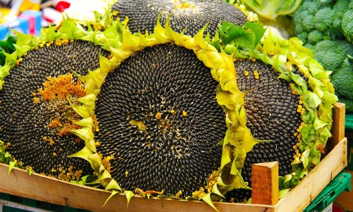 sunflower with black seeds