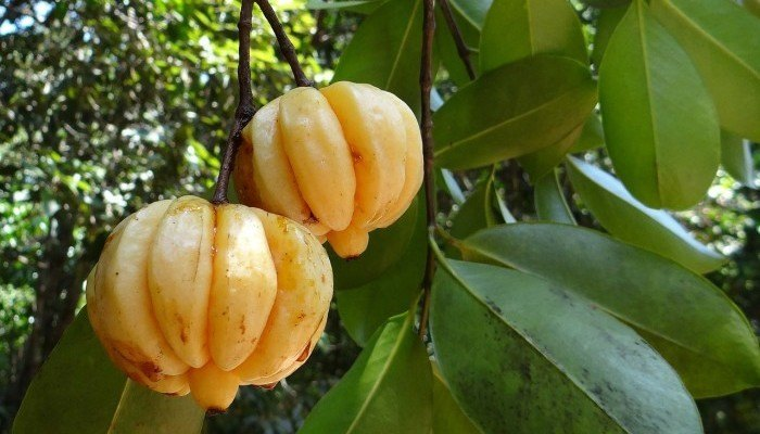 The Truth About Pure Garcinia Cambogia Extract Revealed