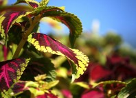 Nice Picture of Coleus Plant